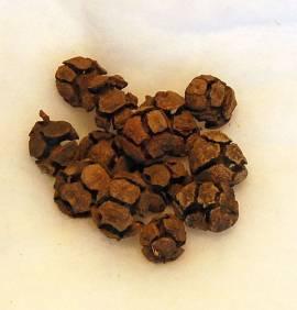 Cupressus Zapfen 15 Stück - Bild vergrößern